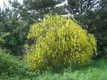 shrubs
