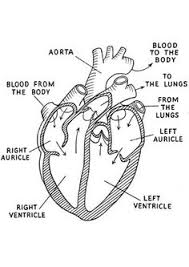 Small Picture heart diagram labeled Related Pictures human heart diagram blank