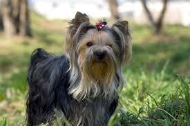 Yorkshire Terrier Depositphotos Original Terrier Breeds