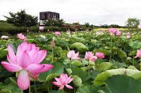 국제뉴스 모바일 사이트, 주남저수지의 여름 수놓은 '연꽃의 향연'