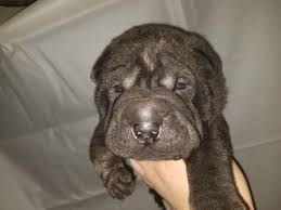 Chinese Shar Pei Puppies For Sale ...