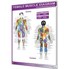 Female Muscle Anatomy Chart