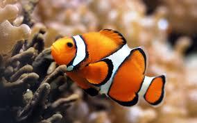 cute baby clown fish. Unique Fish Clownfish Nemo Baby For Cute Clown Fish U
