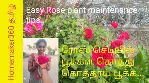 ர ஸ ச ட க த த க த த ப க க rose plant growing tips in tamil