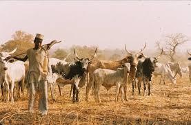 Image result for Zamfara govt bans sale, buying of cattle outside designated markets