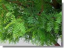 what is the neem plant how is the medicinal plant used  neem leaves