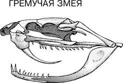 Зоология Эволюция висцерального черепа позвоночных Реферат  Кости лицевого черепа формируют костную основу для начальной части пищеварительной и дыхательной систем полость рта и полость носа