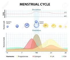 Menstrual Cycle Increase And Decrease Of The Hormones Graph