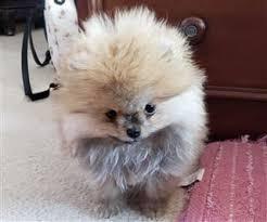 Pomeranian Size Pet Pom Information Center