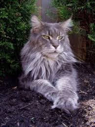 How To Keep A Maine Coon Growth Chart Maine Coon Expert