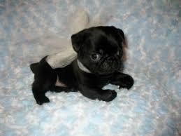 newborn baby pugs. Simple Newborn Black Baby Pugs CUTE On Newborn Baby Pugs B