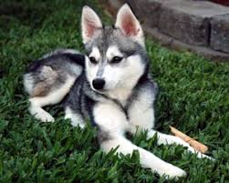 alaskan klee kai size alaskan klee kai information facts soft and fluffy