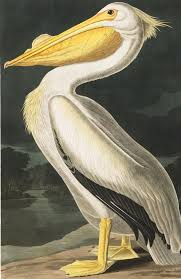 american white pelican john james audubon s birds of america on pelican canvas wall art with american white pelican john james audubon s birds of america our