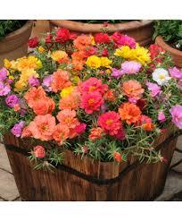 garden seed companies. Portulaca Grandiflora Garden Splendors Double Mixed Seed Companies
