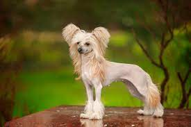 10 small dog breeds that don t shed ollie