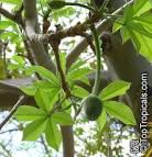Images & Illustrations of cream-of-tartar tree