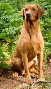 Stunning Fox Red Labrador photo taken during the Andy Biggar ...