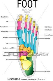 Art Chart Chart Of Foot Dorsal View With Parts Name Vector Image