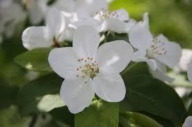 「リンゴの花」の画像検索結果