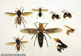 Bee And Wasp Identification Chart Uk Giant Killer Hornet Believed To Be A New Species And The