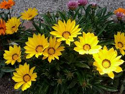 Free Photo Gazania Treasure Flower Blooms Free Image On