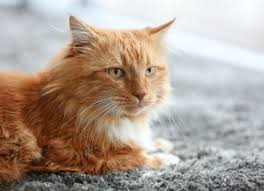 Acetominophen Tylenol Poisoning In Cats Petmd