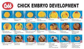 Growth Of A Chicken Chart Gestation Of A Chicken Egg Embryo Development Chart