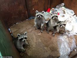 brace and bit raccoon trap. raccoons are shy but clever - studies have shown they learn which night trash is put brace and bit raccoon trap