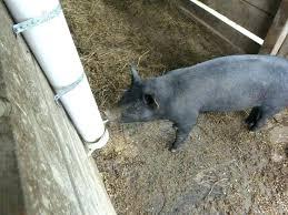 pig homemade hog making waterer pvc