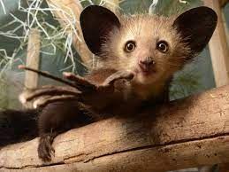 Aye-ayes split from lemurs in Africa before both made their ways to  Madagascar
