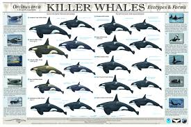 Whale Chart Species Watch First Video Footage Of Rare Type D Orcas
