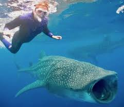 cancun whale shark tours and adventure trips the best tour  whale shark adventure tour
