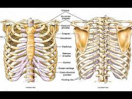 Thoracic, chest & rib pain. Two Minutes Of Anatomy Ribcage Youtube