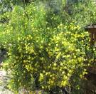 Images & Illustrations of bush poppy