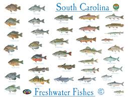 Freshwater Fish Identification Chart Fishing