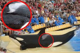 tilikum breeding chart. Modren Breeding The Battle Scars Of Tekoa A Killer Whale Living At Loro Parque Spanish  Theme Park Photo Timzimmermanncom For Tilikum Breeding Chart