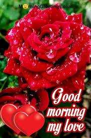 rose morning greetings morning