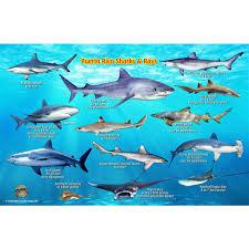 franko maps puerto rico shark and rays fish id card
