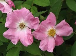 rugosa rose rosa rugosa at gardenworks