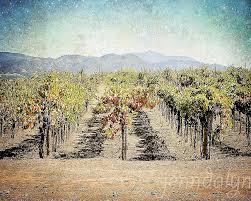the vineyard 8 x 10 fine art photograph wine country decor nice vineyard vines wall