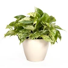 Exotic Angel Plants Pothos Marble Queen in 1.45 Quart Ceramic Tabletop  Planter