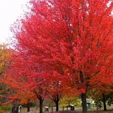 Image result for Scarlet Red Maple Trees