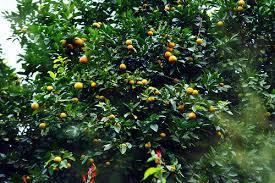 Food U0026 Fruit Trees Of Jamaica  Two Things To Always Remembeu2026  FlickrJamaican Fruit Trees