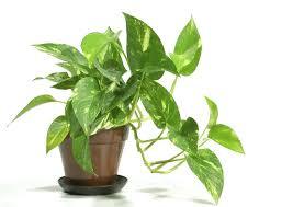 indoor house plants low light elegant easy to grow houseplants easy houseplants easy house plants low
