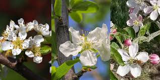 when apple and other trees bloom ok