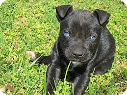 husky black lab mix puppy. Plain Mix Adopted With Husky Black Lab Mix Puppy X