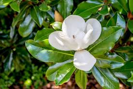 species of magnolia trees and shrubs
