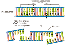 Restriction Enzyme Prentice Hall Biology Print Version