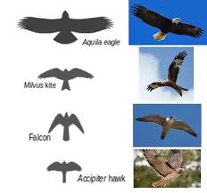 Birds Whats Are The Differences Between Hawks Falcons