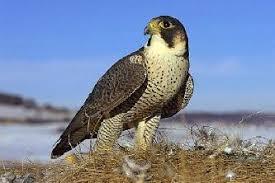 Птица сапсан описание доклад информация сообщение фото видео Птица сапсан лат falco peregrinus изображение